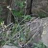 Lyreleaf Twistflower (Streptanthus carinatus)
