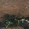 Stiffarm Rockcress (Arabis perennans)