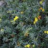 Wiry Lotus (Lotus rigidus)