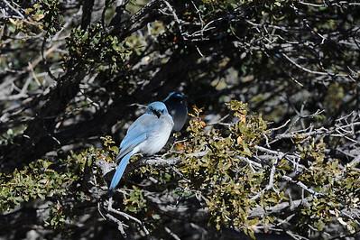 Mexican Jay, Chiricahua National Monument, Arizona