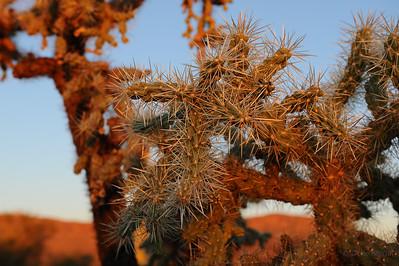 Cholla, Saguaro National Park, Arizona