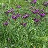 Prairie purples that are not in our rain garden.