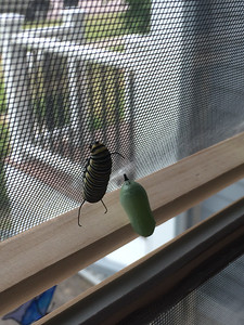 """Monarch crysalis - a  temporary """"pet"""" for our friends in Fargo."""