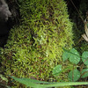 """Cladonia chlorophaea... """"mealy pixie cup""""? At center? Teeny inverted mushroom shapes: this is a lichen, among the moss."""
