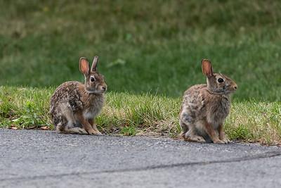Two Belleville Bunnies 2016 June 22nd