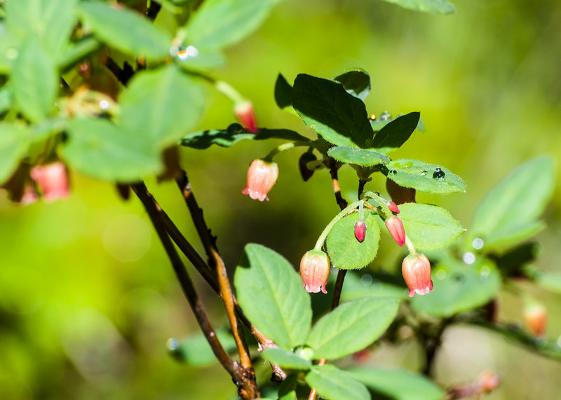 "Probably ""Fool's Huckleberry,"" either Menziesia ferruginea, or Menziesia glabella."