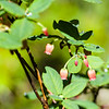 "Probably ""Fool's Huckleberry,"" either Menziesia ferruginea, or Menziesia glabella."