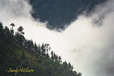 A closeup of trees on a ridgeline with a backdrop of mist behind.