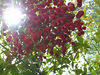 sun and berries