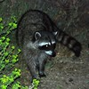 Racoon at the lagoon