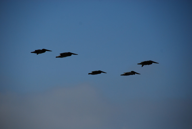 Pelicans flying by... they look funny, like little torpedos.