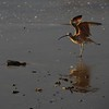 Whimbrel on the beach