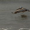 Pelican flying low over the water