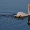 Swan at the lagoon