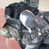 """Rat on a cat on a dog. A better in focus photo is my <a href=""""http://jawsnap.smugmug.com/gallery/4429824_zbVM5#336333267_ciZB6"""">photo of the day for 7/21</a>."""