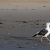 Seagull strutting his stuff