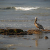 Pelican near the beach