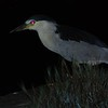"""Black-crowned Night Heron at the lagoon. A similar photo is my <a href=""""http://jawsnap.smugmug.com/gallery/4429824_zbVM5#335355746_NiS2k"""">photo of the day for 7/20</a>."""