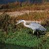 Blue Heron at the lagoon