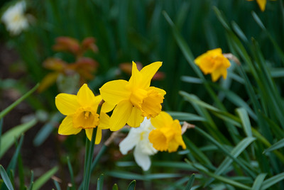 Daffodils on our way to the Tube station