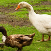 4 July 2012: This goose and duck are buddies and they live in the backyard behind our B&B, The Old Rectory Farm, just outside Nottingham. We got a tour of the animals before we continued North.