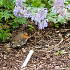 10 July 2012: A little robin! I love how round these birds get. Like tennis balls. :) He let me get very close, too. But maybe he knew we were in the poison gardens at Blarney Castle and he was safe enough under this plant.
