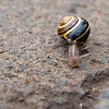 8 July 2012: While walking back to the Visitor's Center at the Giant's Causeway, I saw this snail attempting to cross the road. My taking his picture drew some attention and when I was done, a man who had stopped picked him up and set him in the grass. In the opposite direction he had been headed. It was a nice gesture, but I wonder if it was appreciated...