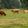 5 July 2012: Some Highland Coos. So fluffy!!!