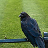30 June 2012: This is one of the ravens at the Tower of London, those legendary birds who are not allowed to leave the Tower lest the monarchy falls.