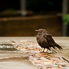 3 July 2012: This little bird was in the gardens taking a bath in a puddle. He was so round and fluffed out!