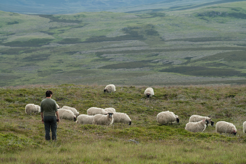 5 July 2012: It was not a successful sheep herding endeavor. They ended up bounding away. But it was really cute to watch.