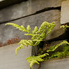 6 July 2012: Ferns growing in the wall of the Visitor Centre at Culloden Battlefield.