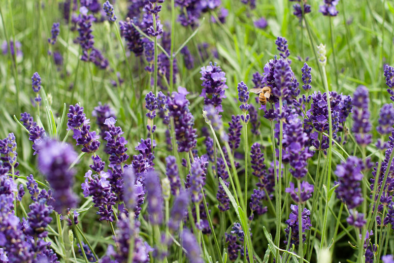 28 June 2012: Bee in lavender outside Westminster Abbey.