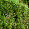 5 July 2012: Some mossy plants on a wall at Scone Palace.