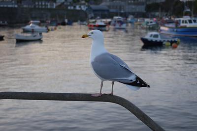 Gull, Mevagissey