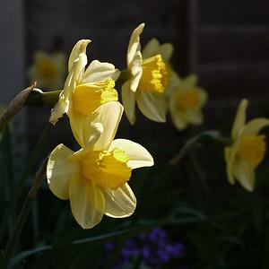 Late Daffodils