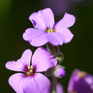 Garden flower macro