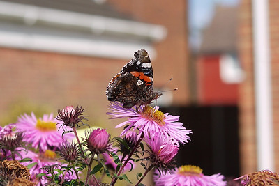 Red Admiral on Michelmas Daisies