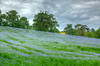 Lavender field foutside of Chipping Campden