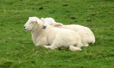 awww...aren't they sweet. It was the end of lambing season and there were lots of twinned lambs frolicking in the fields.