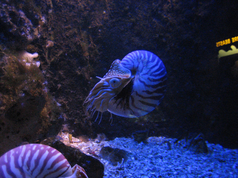 see video at: http://www.videoegg.com/video/cytWeN Before fish evolved, these nautili were the fastest swimming animals in the sea! I think this one looks like an alien boss from a computer game.