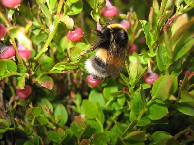 English bumblebee. Fluffeeee
