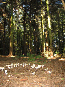 """Fairy ring"" in the woodlands at Keele University campus."