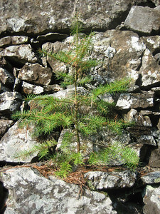 "Tenacious ""Christmas tree"" growing out on a rock wall"