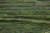 Grains ripening in terraced fields
