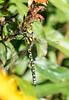 Common or Moorland Hawker Dragonfly (Aeschna juncea)