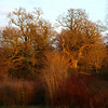Old oaks in the setting sun