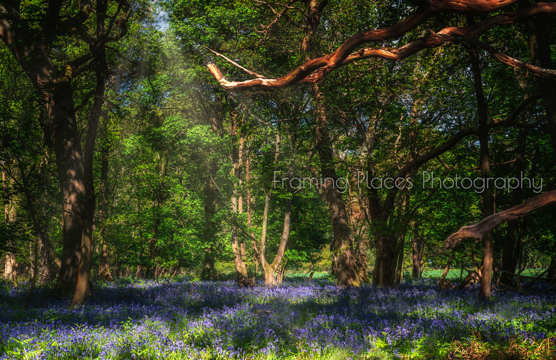 Bluebells in Bones Wood