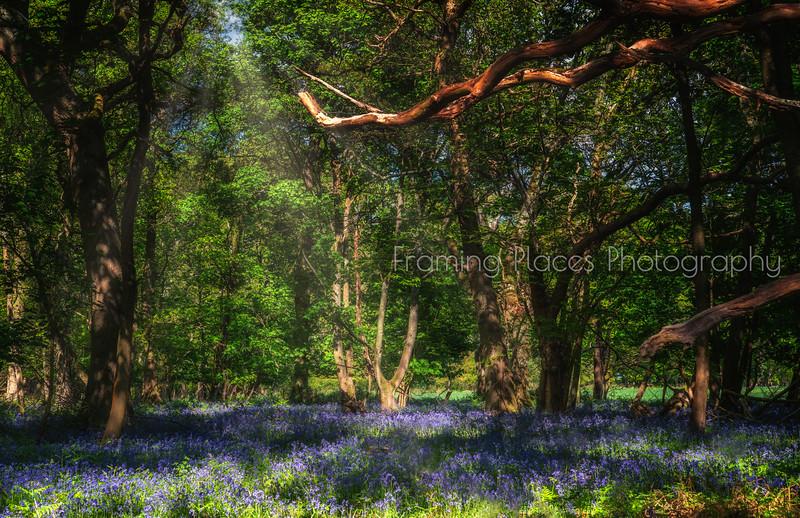 Bluebells in Bones Wood