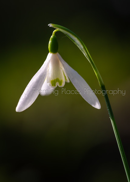 Snowdrop Close-Up